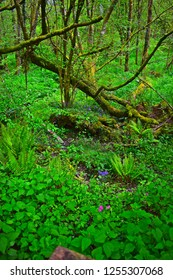 Llandeilo, Carmarthenshire / Wales UK - 5/10/2018:  A cool green British woodland provides the perfect setting for wild flowers such as bluebells, ferns and lichen covering tree stumps.