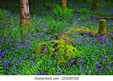 Llandeilo, Carmarthenshire / Wales UK - 5/10/2018:  A cool green woodland provides the perfect setting for wild flowers such as bluebells and lichen covering tree stumps.