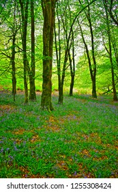 Llandeilo, Carmarthenshire / Wales UK - 5/10/2018:  A cool green British woodland provides the perfect environment for wild flowers such as bluebells and lichen covering tree stumps.