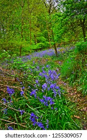 Llandeilo, Carmarthenshire / Wales UK - 5/10/2018:  A trail of flowering bluebells leads the eye through this typical cool and green woodland setting.