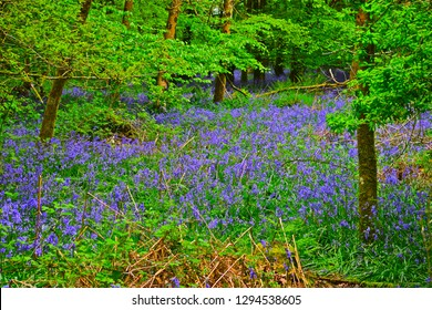Llandeilo, Carmarthenshire / Wales UK - 5/10/2018: A sea of beautiful blue daffodils carpet the ground in this woodland scene in spring. Trees are coming into leaf.