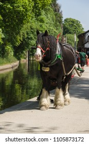 Llangollen United Kingdom - May 25 2018: Draft horse used to pull canal narrowboat for tourists along the 200 year old Llangollen canal in North Wales