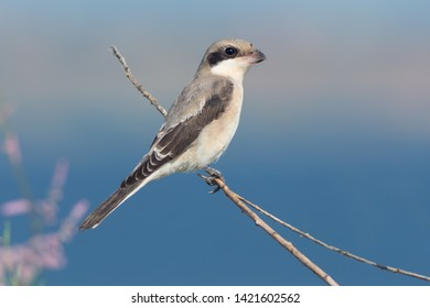 Llesser grey shrike (Lanius minor)