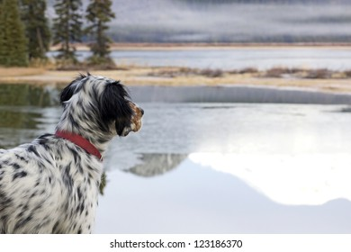 A Llewellin Setter bird dog looking out across Sparks Lake in Oregon