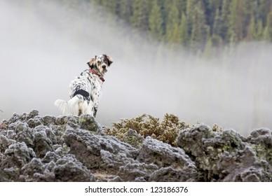 A Llewellin Setter bird dog on a frosty lava flow rock pile in Oregon