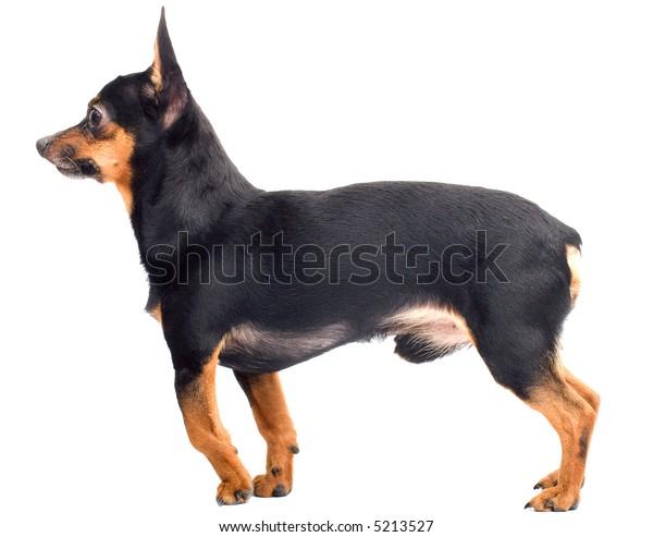 llitle funny dog