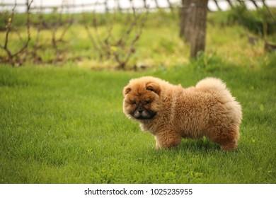 Llittle Chow chow puppy in garden