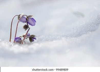 Lliverwort (Anemone hepatica ) flowers in the snow