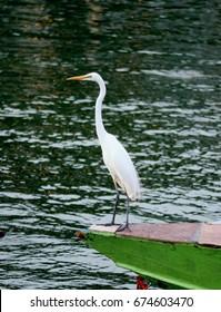 lmage of great egret took by twitcher near bangsaen beach thailand