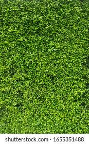Loach plants green wall background