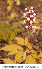 In the loamy moist soils of the autumn forest, the white berries of a baneberry plant rise above its serrated golden leaves.
