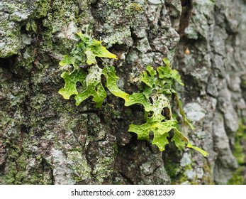 Lobaria pulmonaria on tree in forest