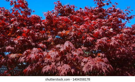 Lobed, red leaves densely covering tree branches against the blue sky. Red maple tree top contrasting with the blue sky. Maple upper leafy branches in spring.