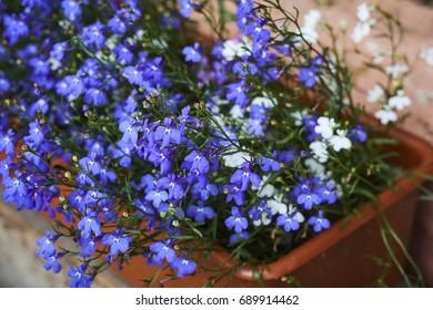 Lobelia blue blossom  in brown plastic pot close up