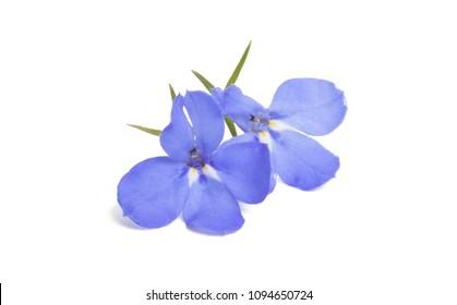 Lobelia blue isolated on white background