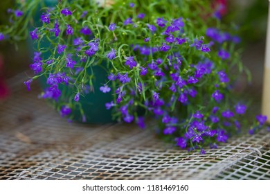 Lobelia (Campanulaceae) is an incredibly beautiful plant that will improve any area with its lush flowering. Lobelia luxuriantly blooming in a pot. Space for Text. Focus concept