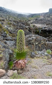 Lobelia deckenii, a species of Giant Lobelia growing in a river valley on Mount Kilimanjaro, Tanzania. The plant has a single large inflorescence and shows three stages of growth. Plenty of copy space
