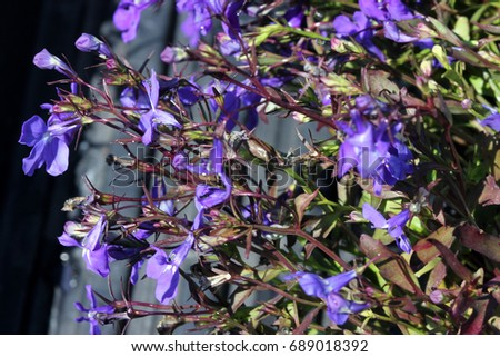 Lobelia Erinus Crystal Palace Herbaceous Annual Stock Photo Edit