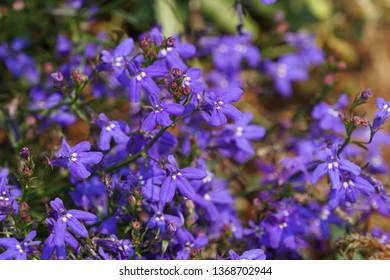 Lobelia erinus flowers