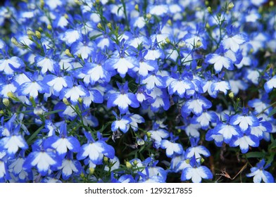 Trailing Lobelia Images Stock Photos Vectors Shutterstock