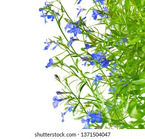 Lobelia Erinus Sapphire.  Blue blooming flowers of lobelia on white background. Campanulaceae. Space for text.