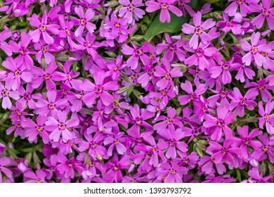 Lobelia flowers in the garden, pink Lobelia flowers (Lobelia erinus).