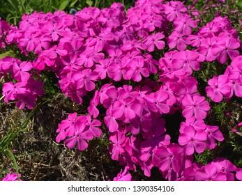 Lobelia flowers in the  garden,pink Lobelia flowers,in Germany,