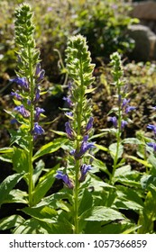 Lobelia siphilitica or great blue lobelia flowers with green