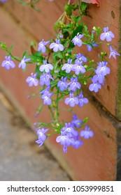 Lobelia spp. flower