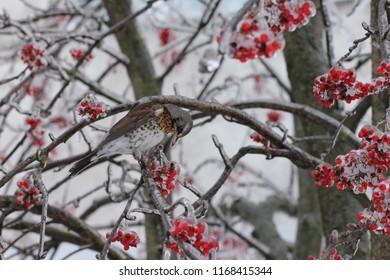 LOBNYA, MOSCOW OBLAST / RUSSIA - DECEMBER 01 2018: Consequences of ice rain in Moscow Oblast. Fieldfare feeding on rowan tree