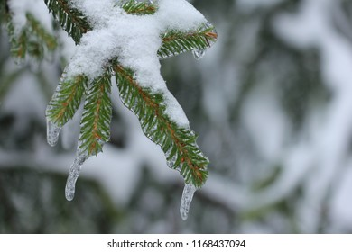 LOBNYA, MOSCOW OBLAST / RUSSIA - DECEMBER 01 2018: Consequences of ice rain in Moscow Oblast. Pines in the ice