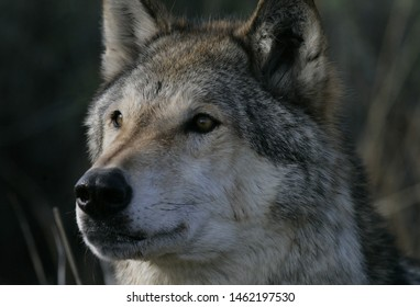 Lobo wolf is a close-up look that looks at a distance