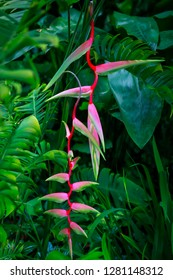 Lobster Claw or Pink Heliconia Rostrata plant also known as False Bird of Paradise in Singapore Botanic Gardens