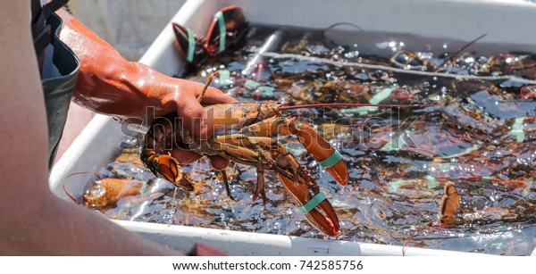 A lobster fisherman is sorting his live lobsters at the end of the day to be sold at the docks.