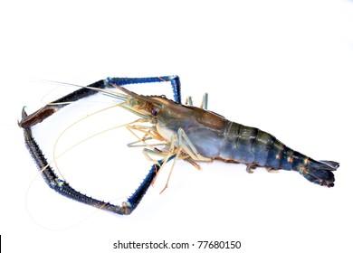 lobster or giant freshwater prawn