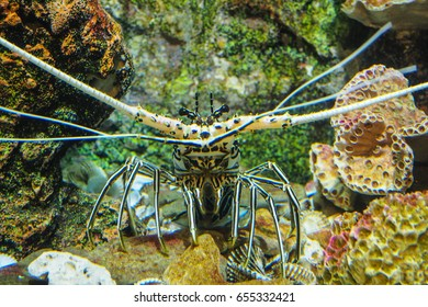 Lobster in the glass tank (Panulirus argus).