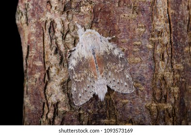 Lobster Moth (Stauropus fagi) sitting on tree bark