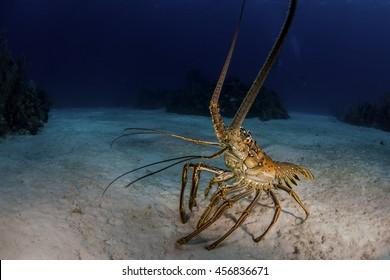 A lobster out looking for food