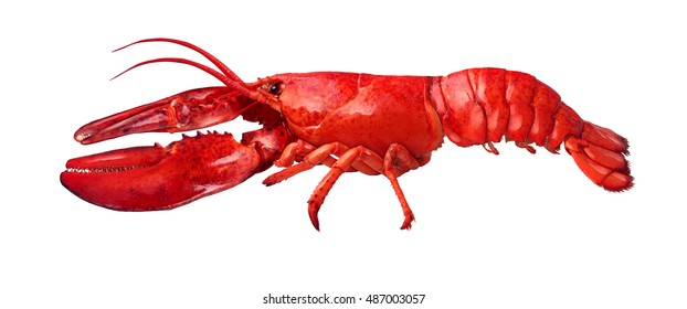 Lobster side view isolated on a white background as fresh seafood or shellfish food concept as a complete red shell crustacean isolated on a white background.