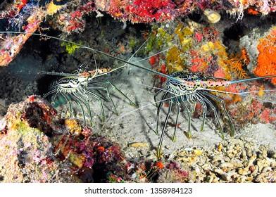 lobster in sipadan