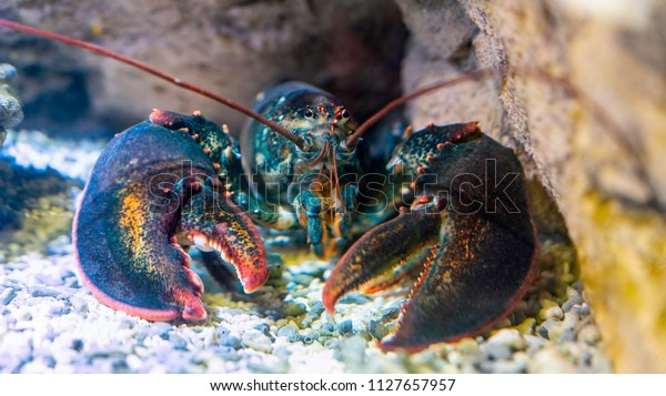 Lobster under water on a rocky bottom