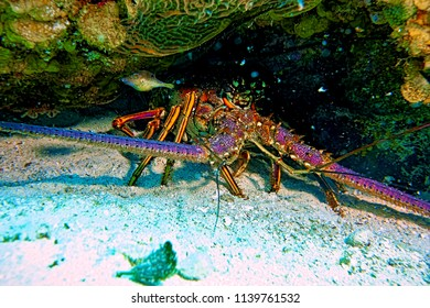 A lobster we encountered in Nassau Bahamas while scuba diving in the ocean in the Caribbean