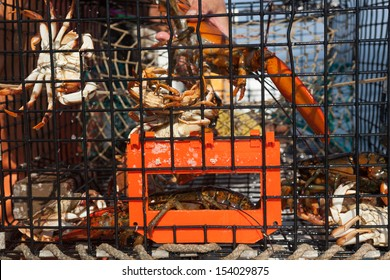 Lobsters and Crabs hanging on to side of trap