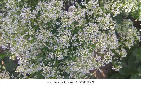 Lobularia Snow Princess Sweet Alyssum. is a delicate carpet of tiny flowers with a subtle, sweet scent. The low-growing foliage is covered by flowers for much of the growing season.