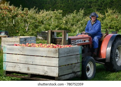 LOBURN, NEW ZEALAND, May 2017: An orchardist collects a bin of freshly picked Braeburn apples
