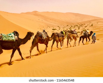 A local Berber guide leading a line of camels walking in Sahara desert