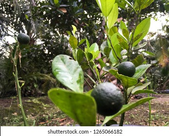 Local calamansi tree or limau kasturi (citrus microcarpa).