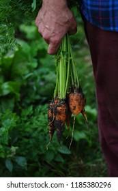 Local carrots in farmer hands