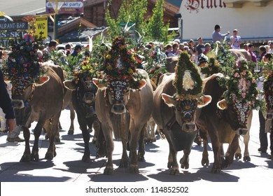 Local farmers in the alps drive their cattle down from the alpine pastures to the valleys in fall during the traditional Almabtrieb, where the cows carry ornaments as seen in Mayrhofen, Austria.