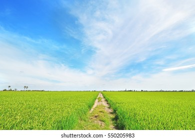 Local grouding road between green rice field and beautiful blue sky.